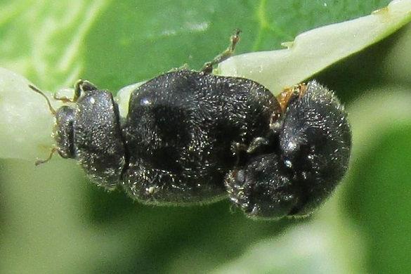 wa rhyzobius forestieri_3672.JPG