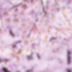 beautiful photo of vibrant cherry trees