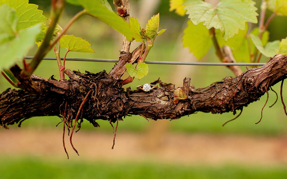 engagement ring sits on grapevine at gervasi vineyard