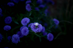 Engagement ring sitting on a purple flower at dusk