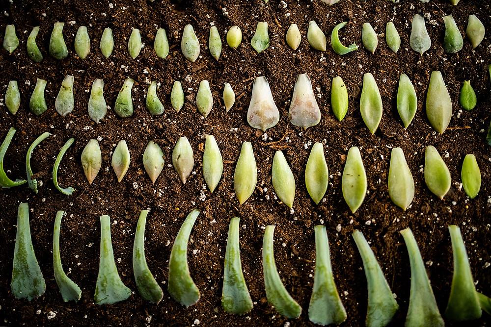 succulent propagation in cleveland ohio