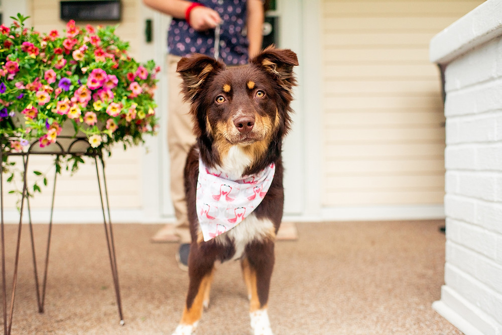 aussie with bandana stands on porch in akron ohio