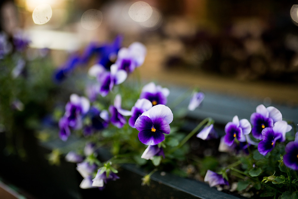 Purple and white pansies in a garden box outside a restaurant in Ohio City, Cleveland, Ohio