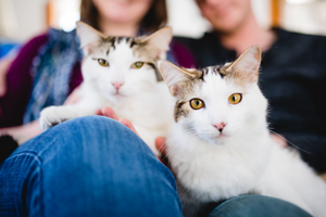 two cats with big yellow eyes sitting on a man and woman's lap looking at the viewer