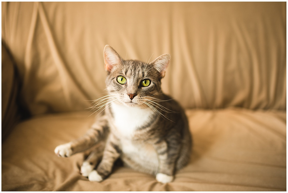 tabby cat looking at viewer in engagement in-home session in athens, ohio