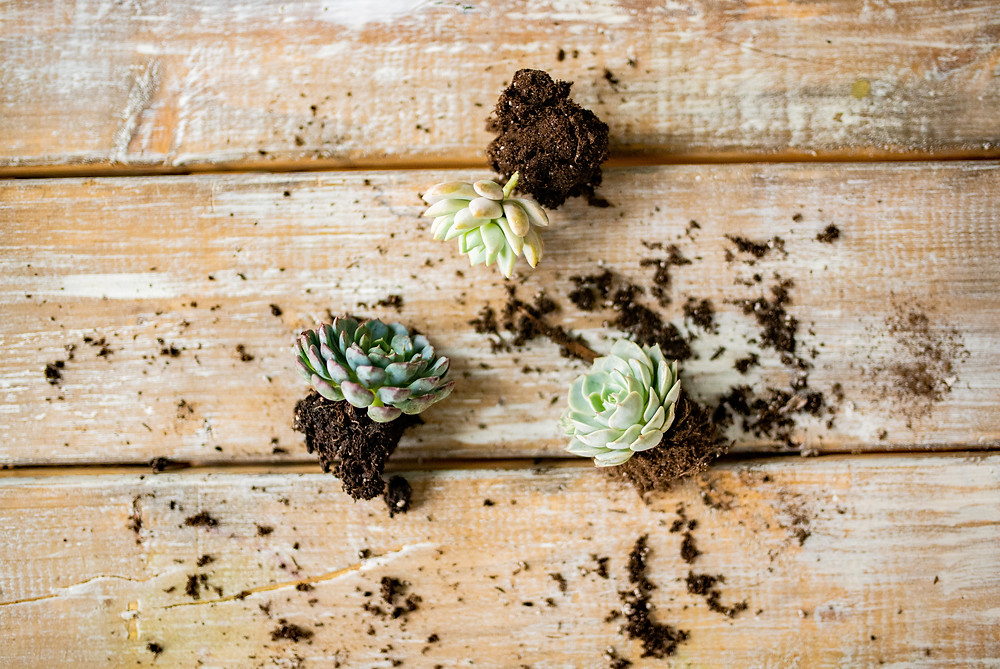 Succulents in Cleveland Ohio tutorial for weddings