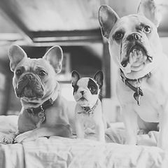 three french bulldogs sitting in a row