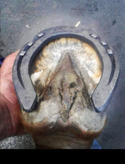 Handmade 3/4 Fullered Hind Shoe