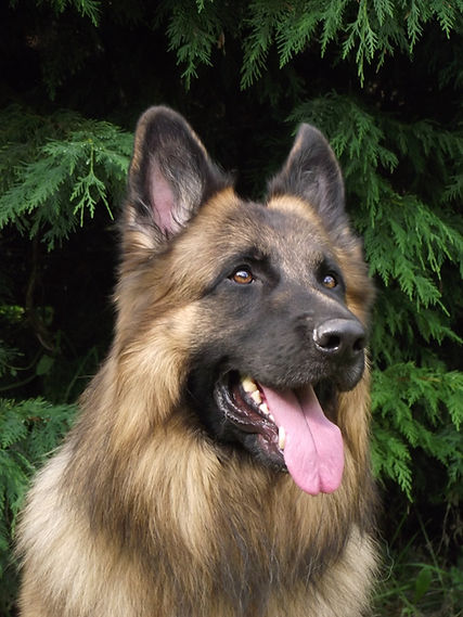 Giggs our Male GSD
