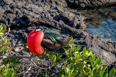 Genovesa-Island-Darwin-Bay-frigate-bird.