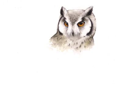 White Faced Scops Owl.jpg