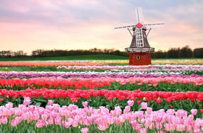 Amsterdam Tulip 02.jpg