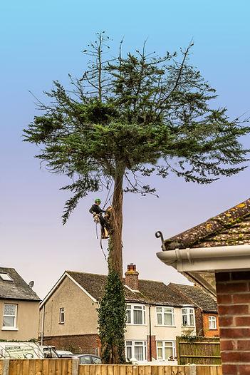 Tree cutting 5.jpg