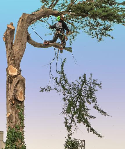 Tree cutting 3.jpg