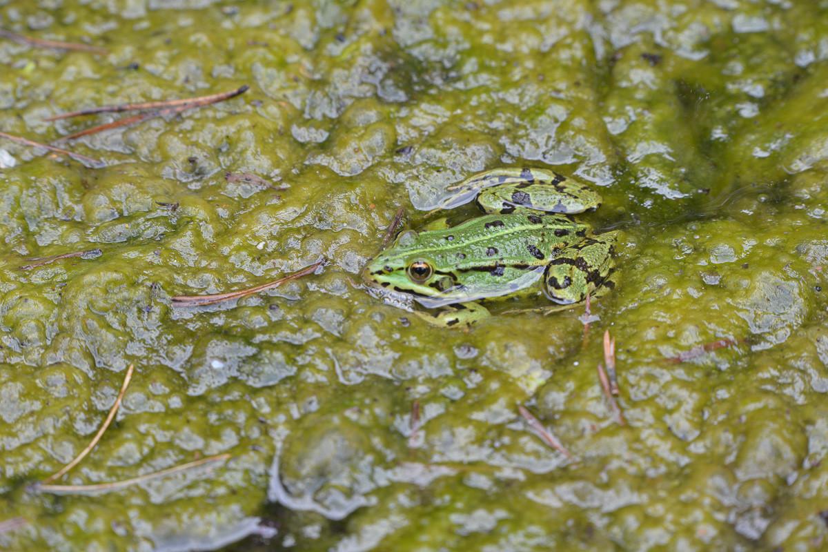 La grenouille de Chomo