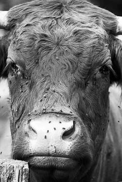 Vache stoïque avec mouches
