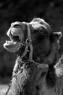 Quel chameau