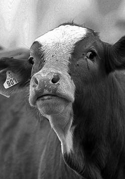 Meuh la vache