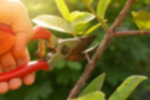 gardener pruning trees with pruning shea