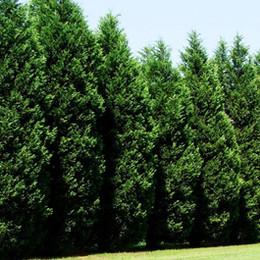 LeylandCypressTreesPlanted.jpg
