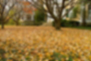5225929-yellow-leaves-lay-on-grass-in-fr