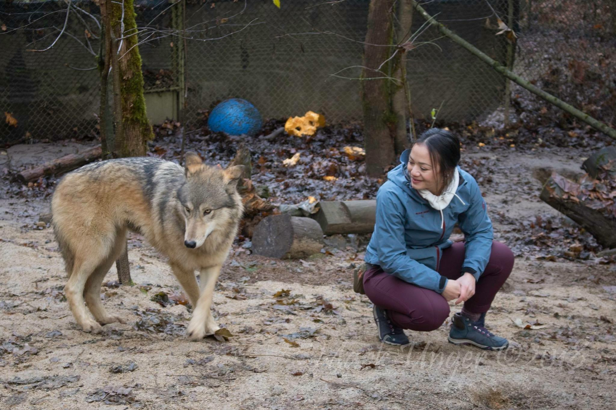 Gray Wolf Animal Encounter