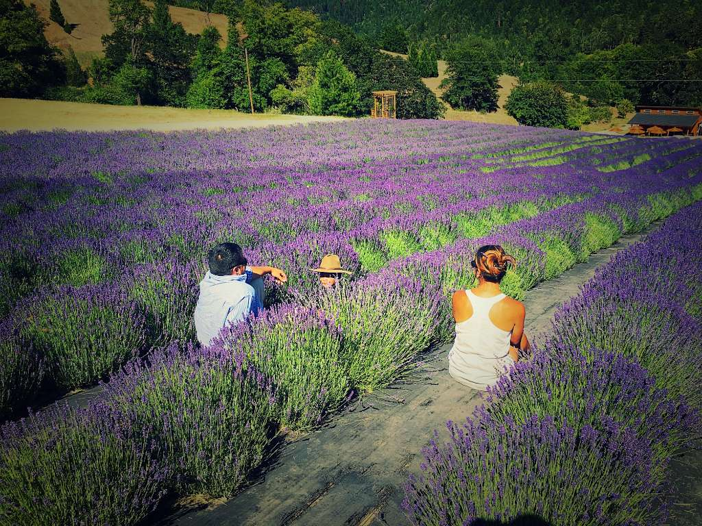 Lavender Field Southern Oregon
