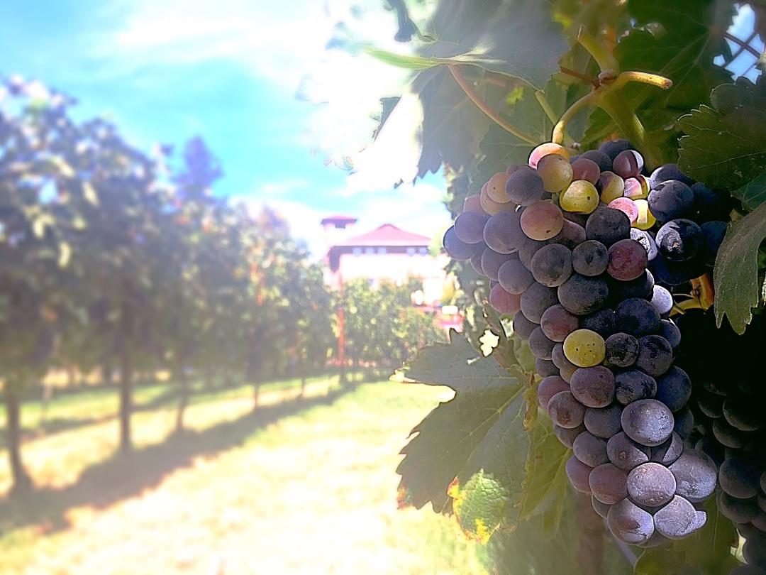 Southern Oregon Wine Grapes