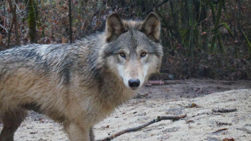 Wildlife Images Gray Wolf - Argo