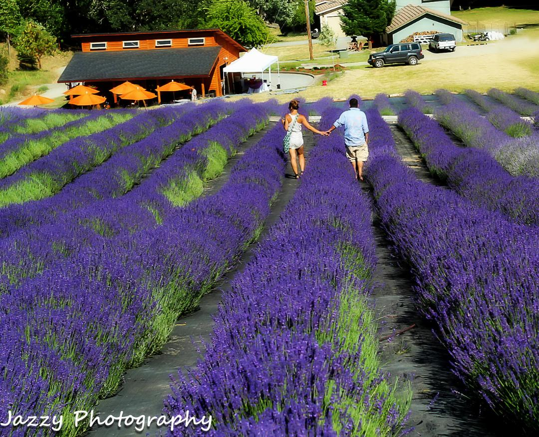 English Lavender Farm