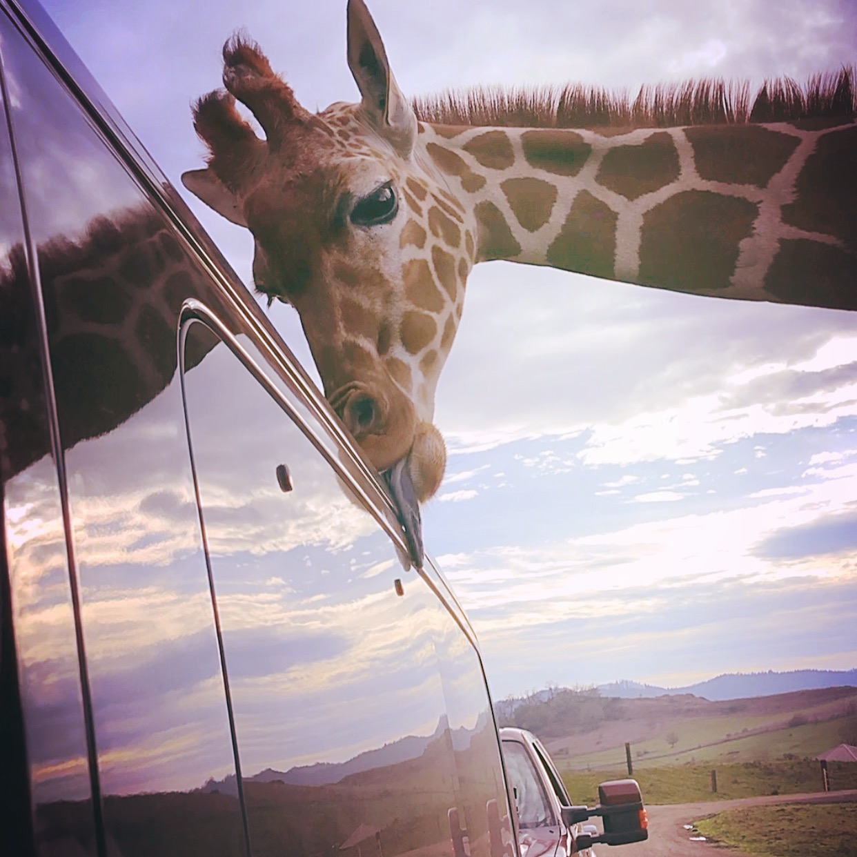 Giraffe Encounter at Wildlife Safari