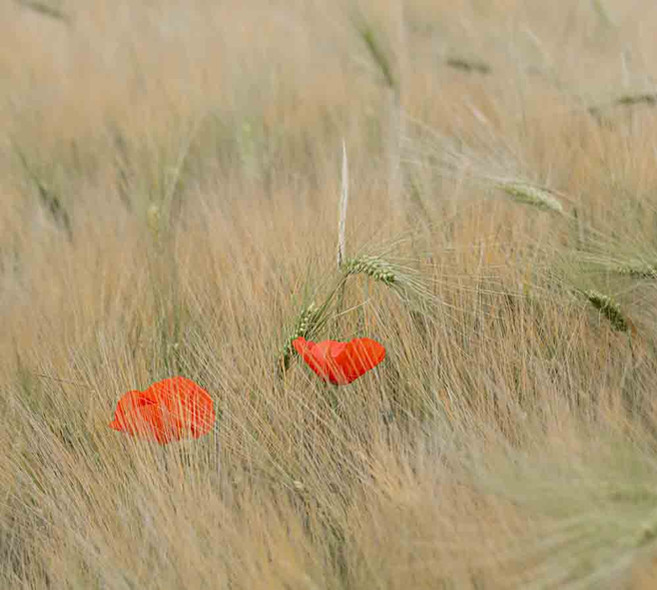 Duo of Poppies by Roger Agnew