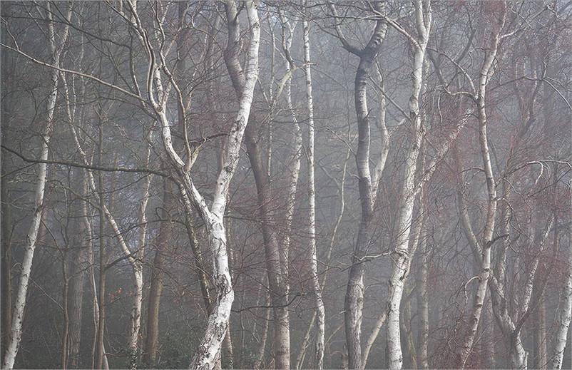 Birch Gathering