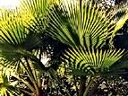 Palmera Abanico.png