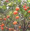 Cultivo-Mandarina.jpg