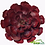 Thumbnail: Suculenta grande roja