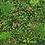 Thumbnail: Bugambilia Rosa