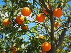 naranjo-arbol-frutal.jpg