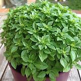 albahaca-hoja-pequena-semillas-ecologica