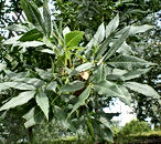 phoca_thumb_l_fraxinus_angustifolia_2.jp