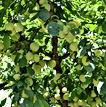 Prunus-domestica-Golden-Japan-Ciruelo-Ro