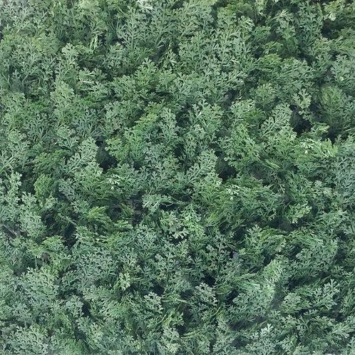 Cipress