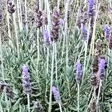 Flores-de-Lavanda-800sq.jpg