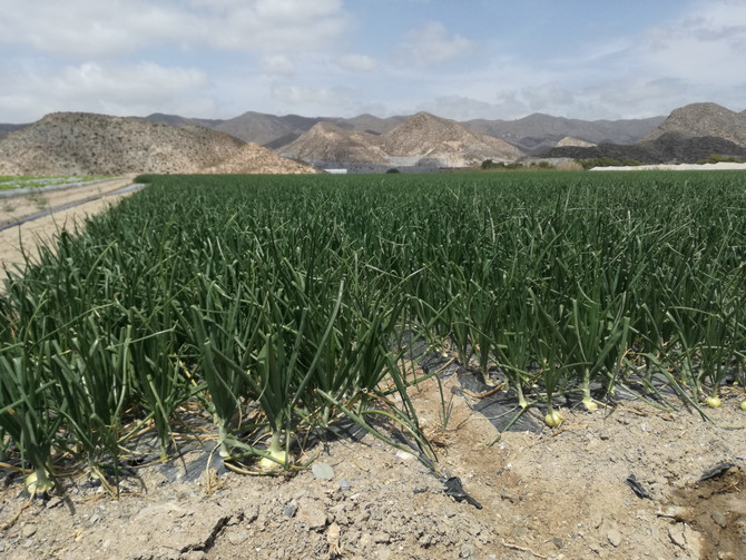 La plataforma VegAlert realizando el seguimiento fitopatológico en cultivo de cebolla
