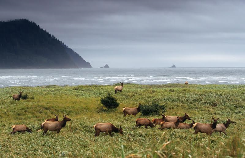 Elk on Beach