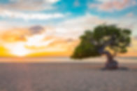 Idyllic view of tropical Aruba beach with Divi Divi tree at sunset.jpeg