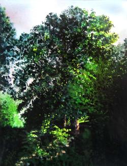flowering lime, evening.jpg