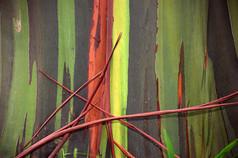 Eucalyptus Tree II