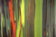 Eucalyptus Tree I