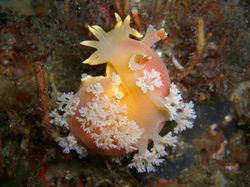 Apricot nudibranch